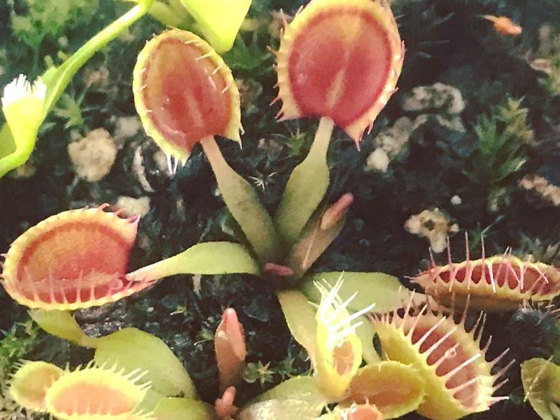 Dionaea muscipula Crazy Cup Trap Venus Flytrap (small)
