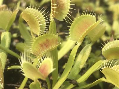 Dionaea muscipula Assorted Green Cultivators Venus Flytrap (small)