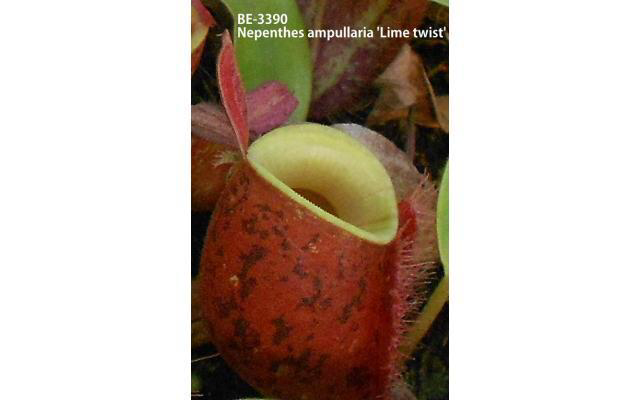 Nepenthes ampullaria Lime twist BE-3390 (Medium)