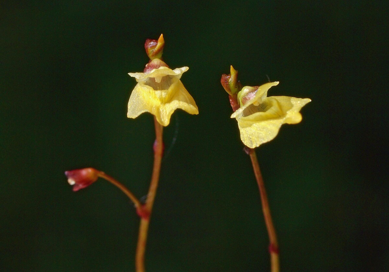 Utricularia minor