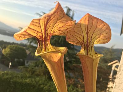 "Sarracenia flava var. cuprea x oreophila ""Sand Mountain"" MK12415"