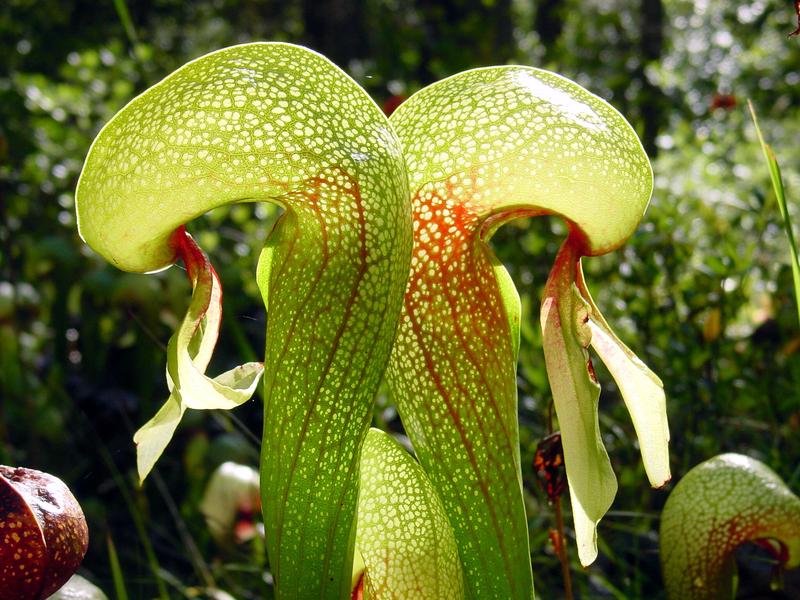 """Darlingtonia californica  """"Cobra Lily""""- juvenile plant"""