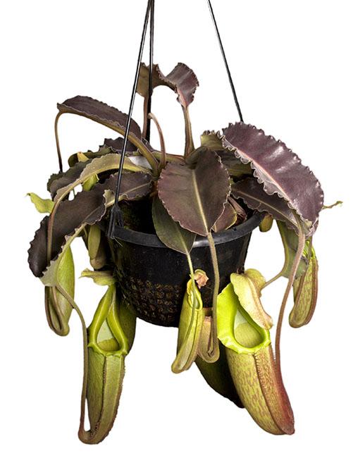 "Nepenthes maxima ""Wavy Leaf"" BE-3907 (Medium)"