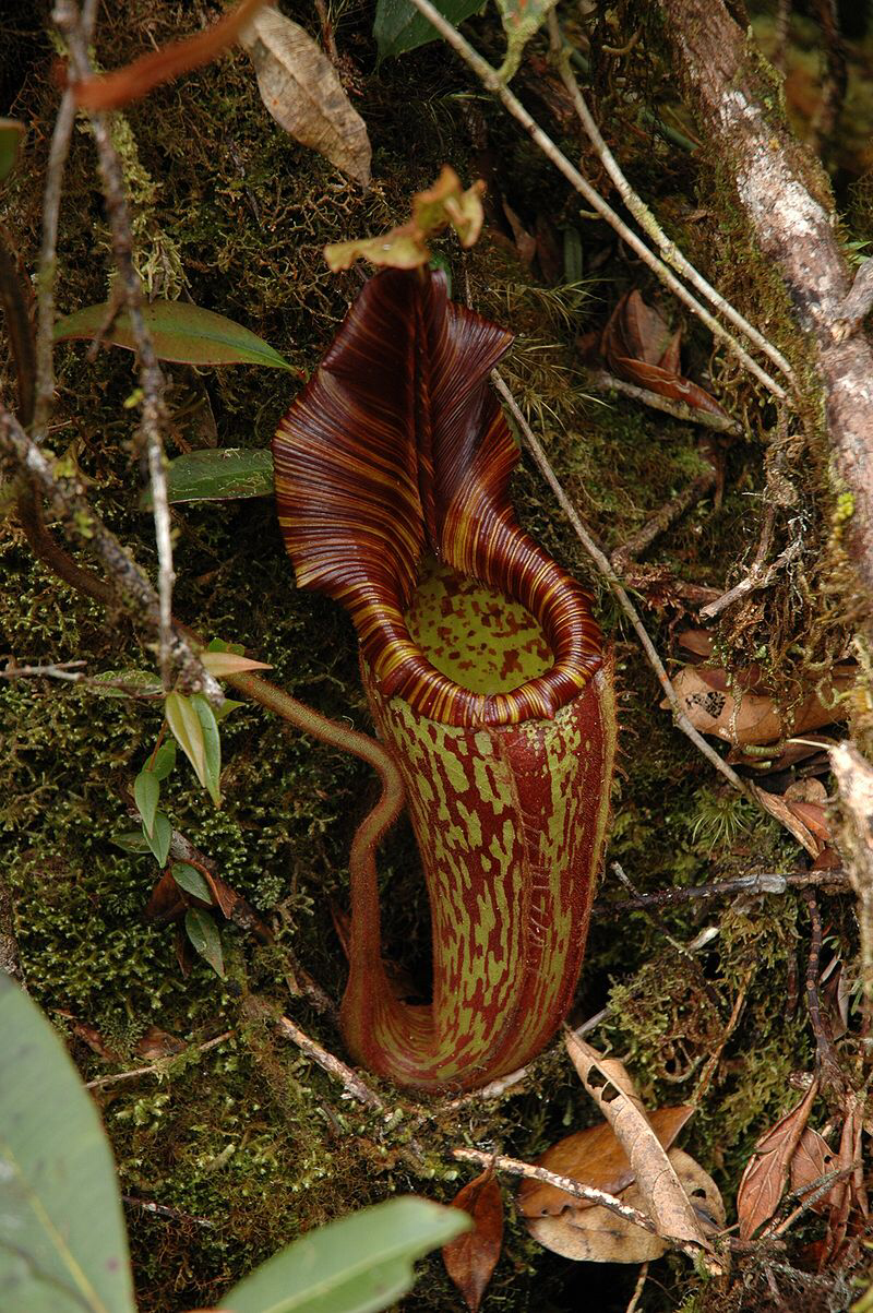 Nepenthes hurrelliana