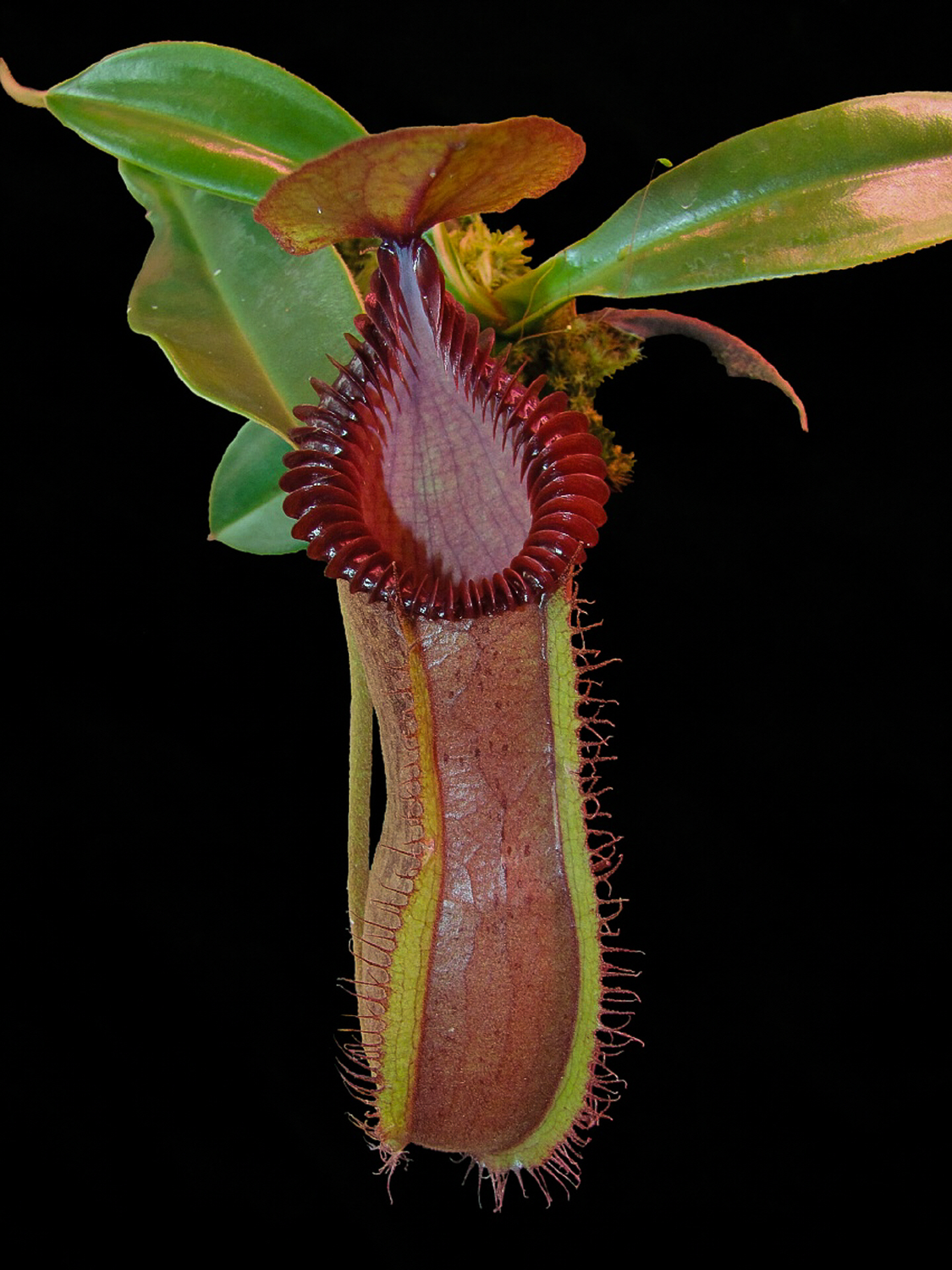Nepenthes hamata x edwardsiana