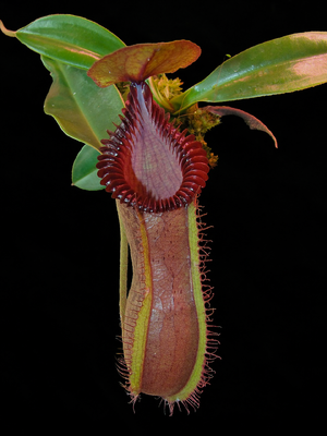Nepenthes hamata x edwardsiana (X-SM)