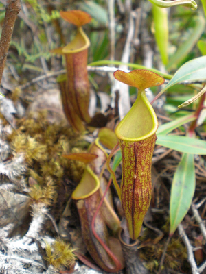 Nepenthes micramphora