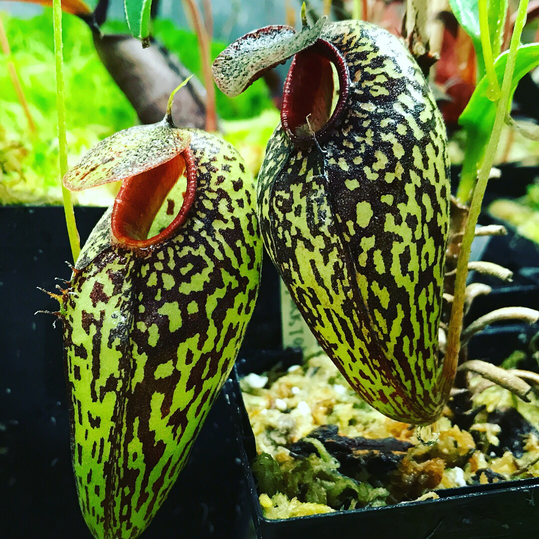 "Nepenthes aristolochioides ""New Location"" Sumatra"