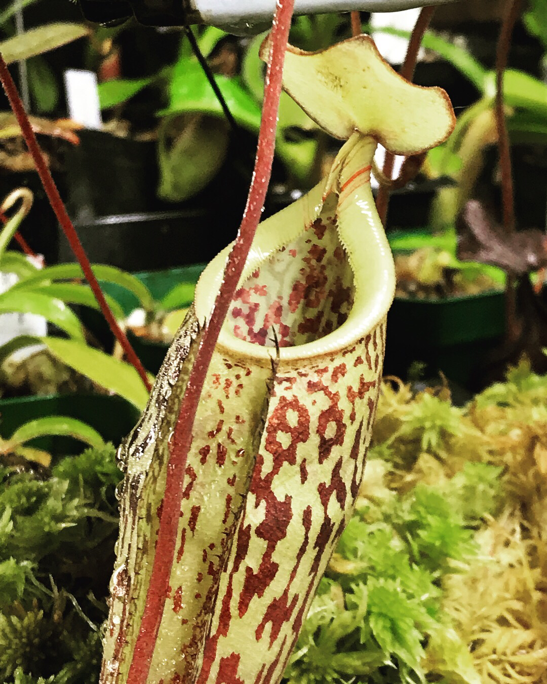 Nepenthes macfarlanei (Medium)