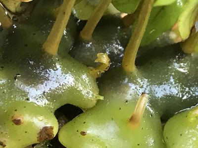 Ant Fern- Lecanopteris pumila