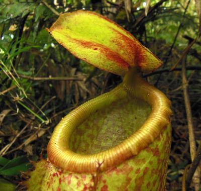 Nepenthes aenigma (BOGO)