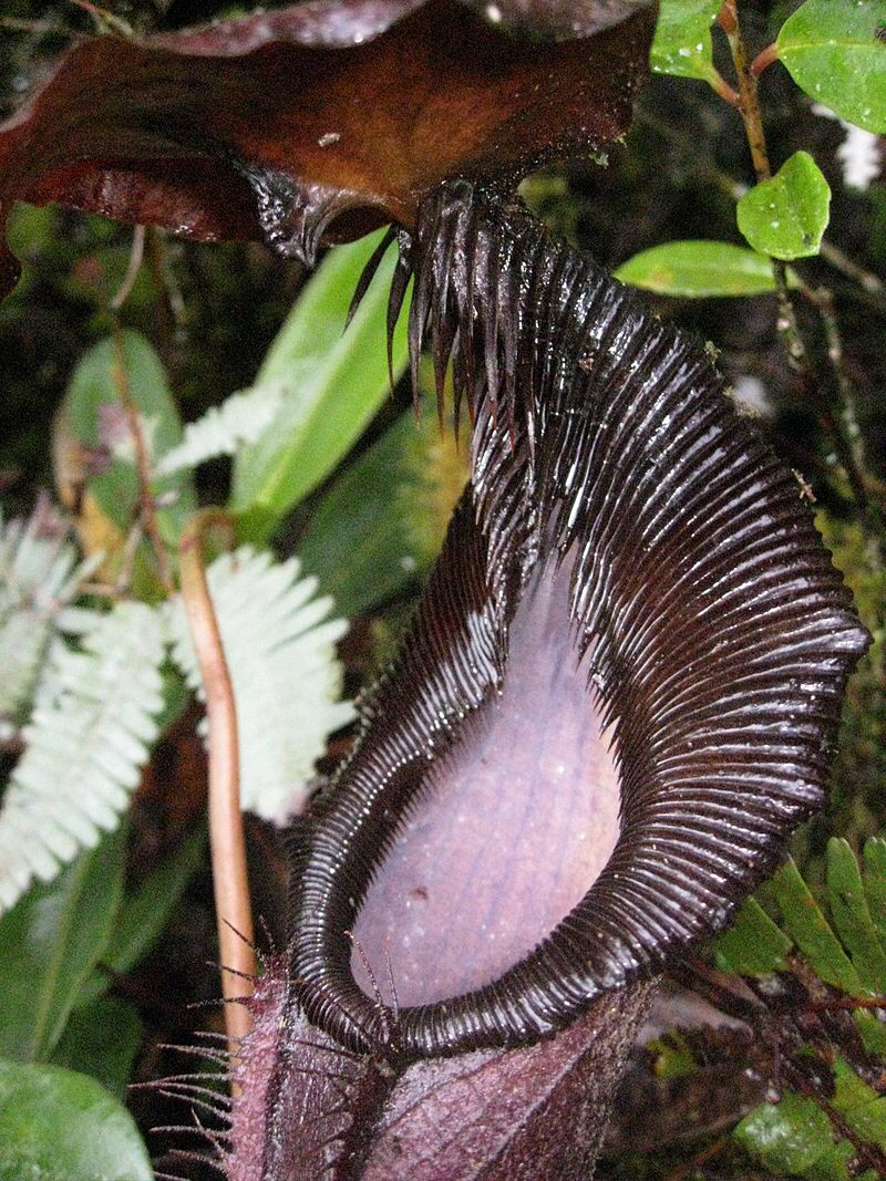 Nepenthes izumiae  BE-3925