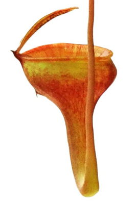 Nepenthes jamban BE-3875