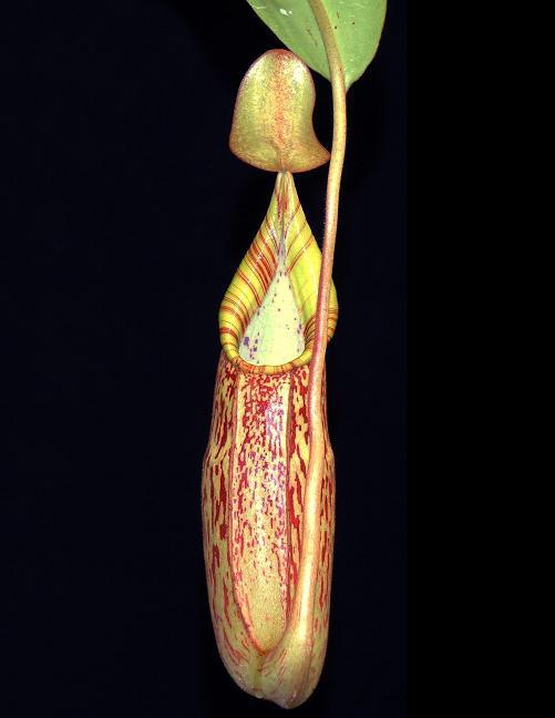 Nepenthes spectabilis x veitchii BE-3636