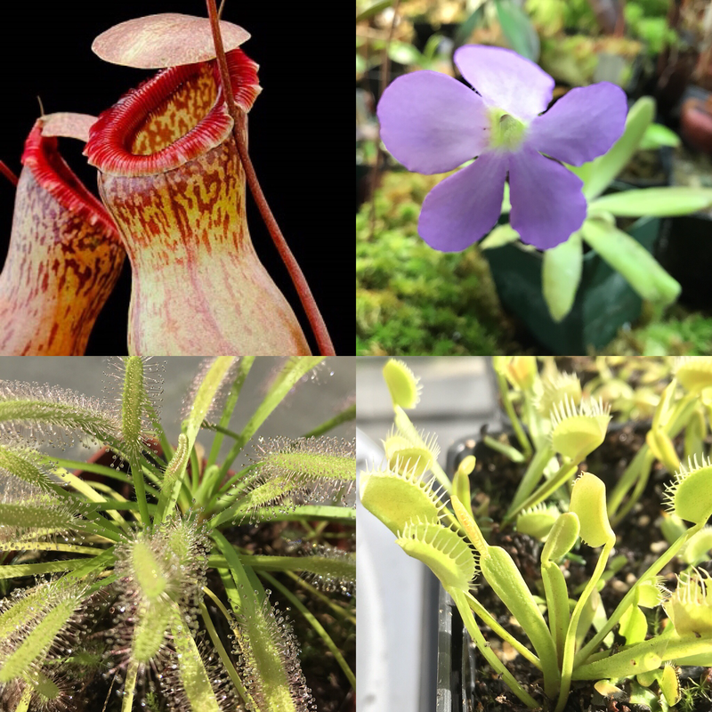 Basic Beginners Carnivorous Plant Starter Kit 4.3