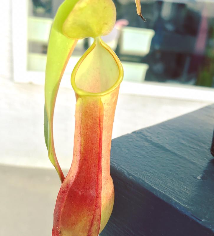 Nepenthes reinwardtiana - Colourful!