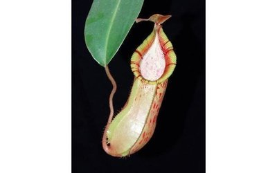 Nepenthes hamata x veitchii BE-3943 Mega sale!
