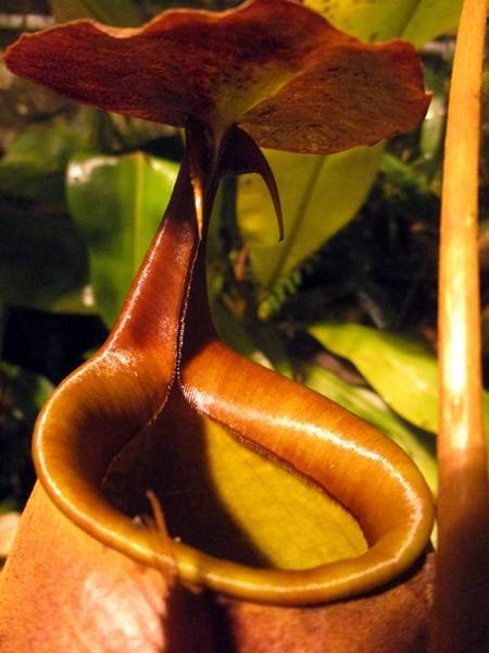 "Nepenthes bicalcarata ""Sarawak Giant"" Red BE- 3682 Nice sized plants!"