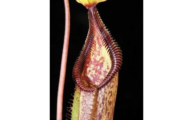 Nepenthes singalana x hamata BE-3955