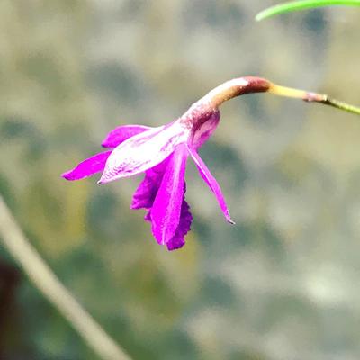 Neolauchea pulchella Orchid