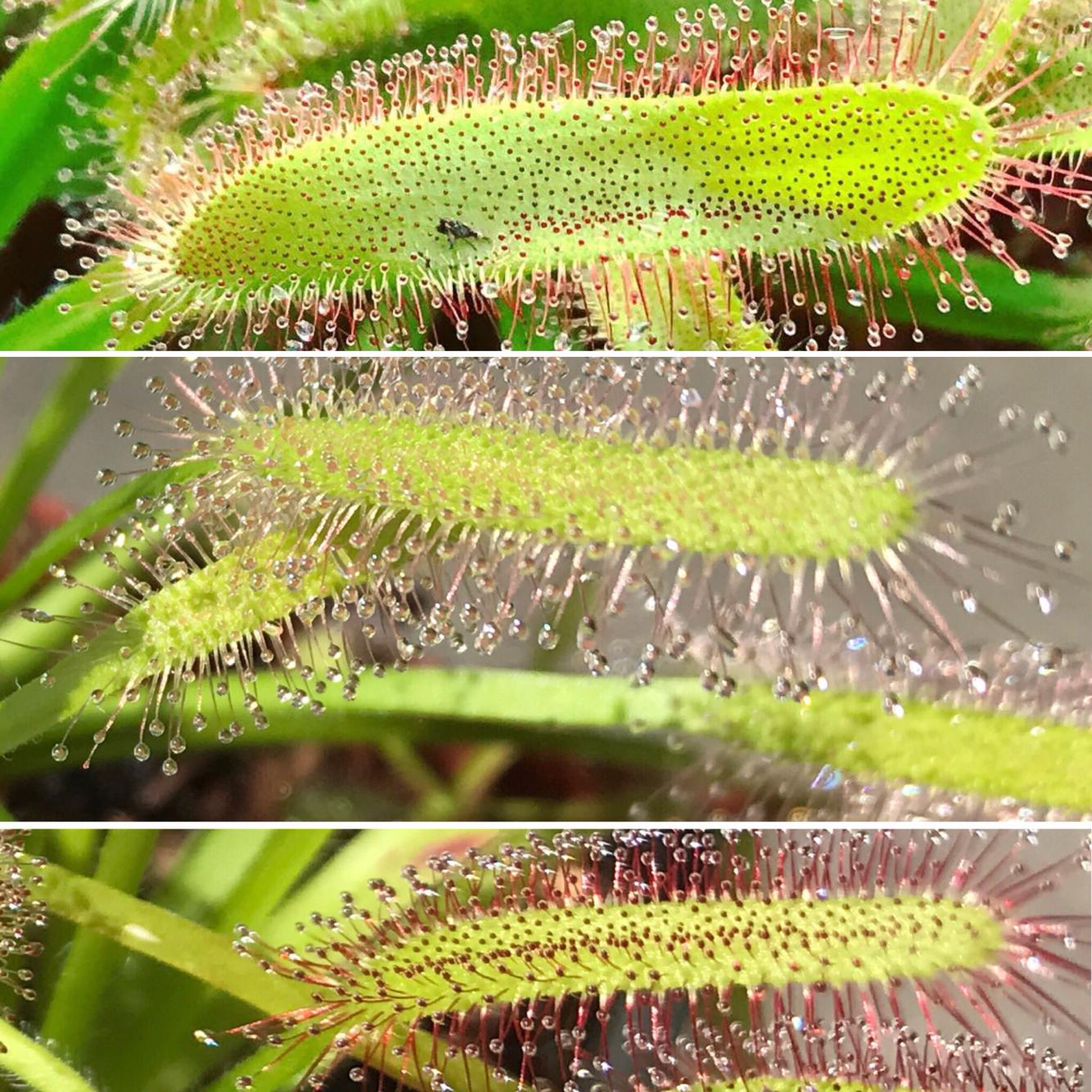 Drosera capensis Cape Sundew Starter Pack (3 Plants)