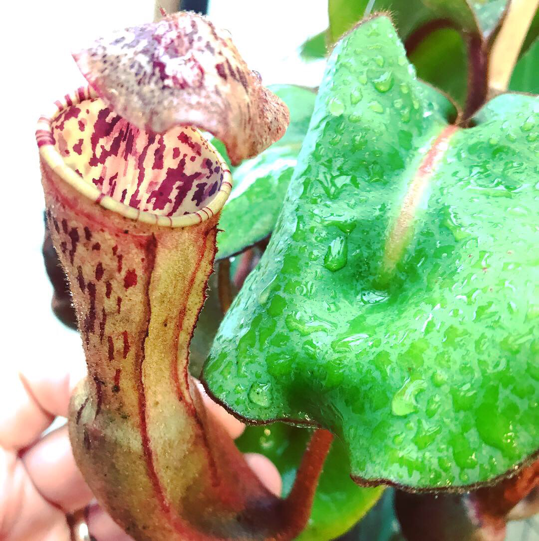 Nepenthes clipeata