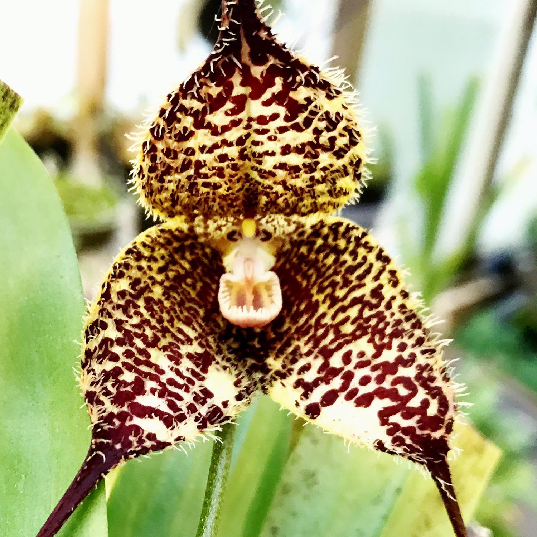 Dracula chiroptera Orchid