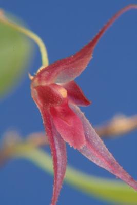 Trichosalpinx chamelepanthes Orchid