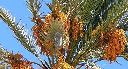 """Phoenix Dactyliferai (Date Palm) 6-8""""size"""