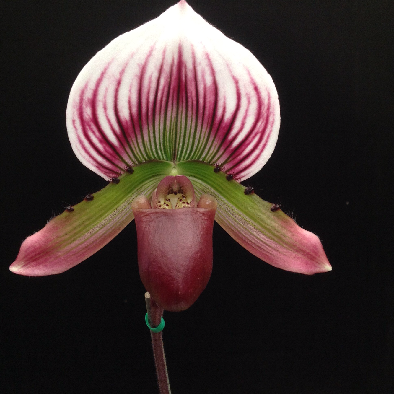 Paphiopedilum maudiae Slipper Orchid