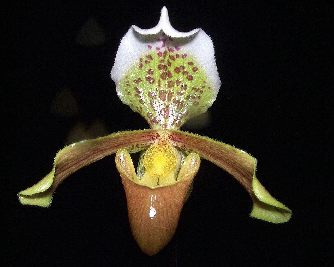 Paphiopedilum insigne Slipper Orchid