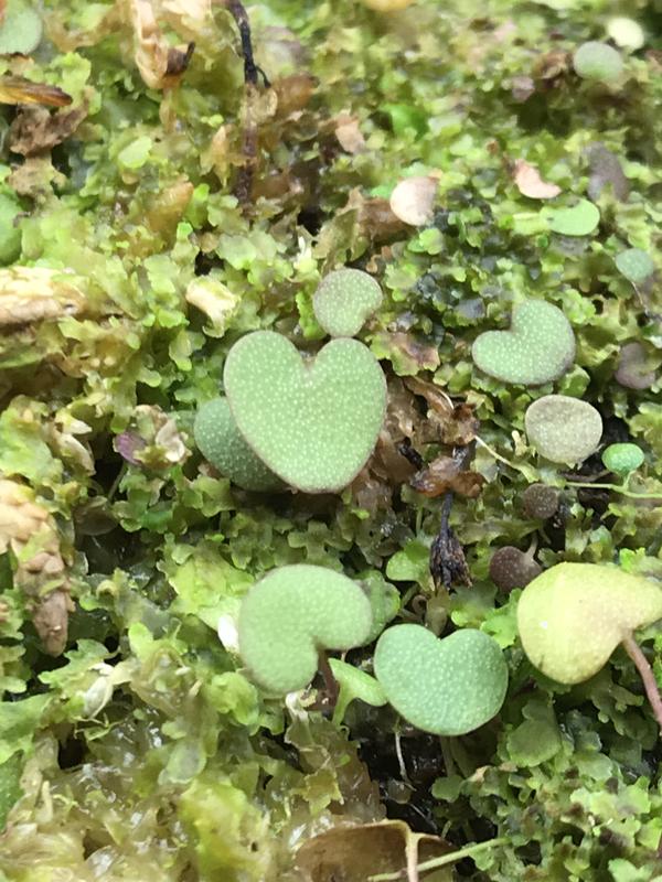 Utricularia nephrophylla X geminiloba