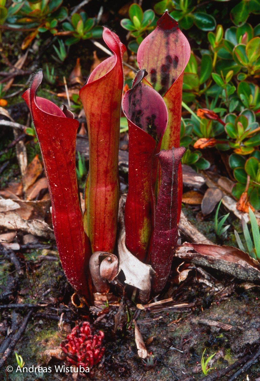 Heliamphora ceracea (Cerro Neblina, Braz. Ven)