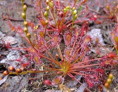 Drosera intermedia The Oblong-Leaved Sundew