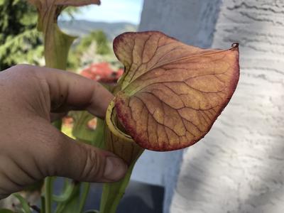 "Sarracenia flava var Cuprea ""Coppertop"""