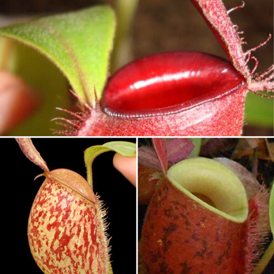 Nepenthes ampullaria Starter Pack 2.0 (Lowland pack#4)