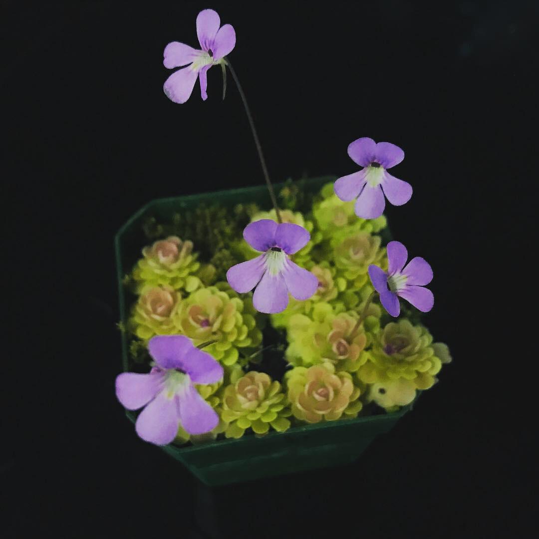 Pinguicula jaumavensis - Miniature Butterwort