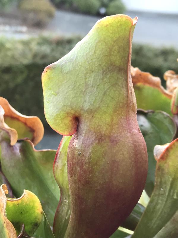 Sarracenia purpurea sub sp. purpurea /f. heterophylla mixed seedlings Buy 1 get 3 Free