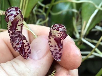 """Pleurothallis restrepioides """"Dragon Stone"""" Orchid"""