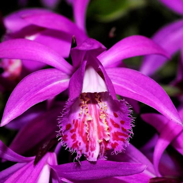 Pleone Tongariro Orchid