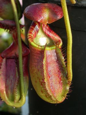 Nepenthes ephippiata x-sm