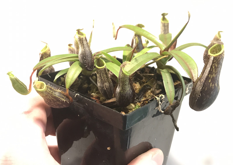 Nepenthes mikei