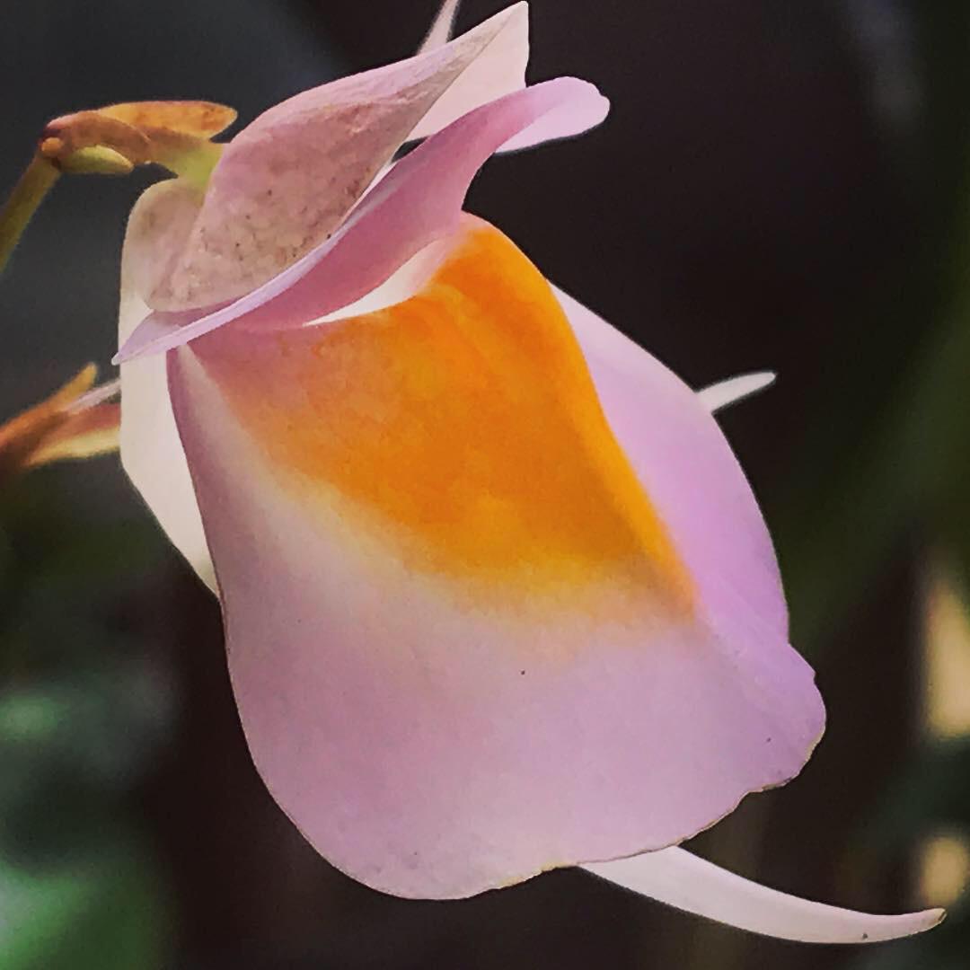 Utricularia cv Jitka