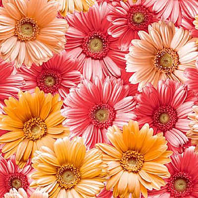 Герберы. Обои для стен моющиеся. Виниловые на бумажной основе. Варианты цветов: красно-оранжевый,  серо-белый.