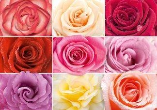 Разноцветное настроение. Фотообои на стену, розы. Размер: 291х204см