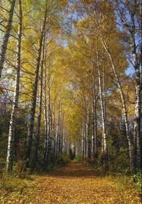 Осенняя аллея.  Фотообои в гостиную.  Размер: 136х194 см.