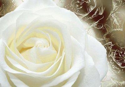 Нежность.  Фотообои, белые розы. Размер: 194х136 см.