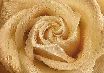 Утренняя роза.  Фотообои на стену. Размер: 194х136 см.