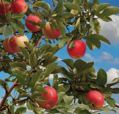 Летняя пора. Фотообои, яблоня. Размер: 204х194 см.