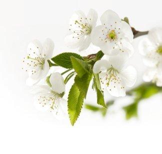 Белая нежность. Фотообои, цветы. Размер: 204х194 см.